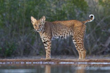 Bobcat (Lynx rufus) south Texas ranch
