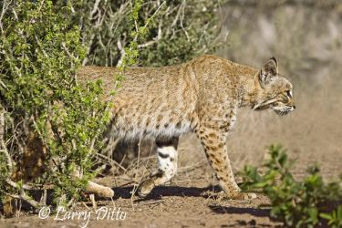 Bobcat (Lynx rufus) male, south Texas, spring