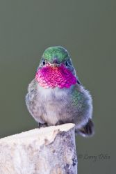 Broad-tailed_Hummingbird_Larry_Ditto_70K8729