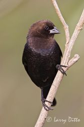Brown-Headed Cowbird (Molothrus ater) adult male