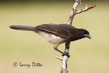 Brown_Jay_Larry_Ditto_mg_4579