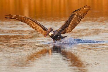 Brown Pelican_Larry_Ditto_70K0098