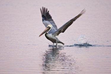 Brown Pelican_Larry_Ditto_70K0250