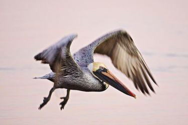 Brown Pelican_Larry_Ditto_70K0293