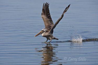 Brown Pelican_Larry_Ditto_70K2345