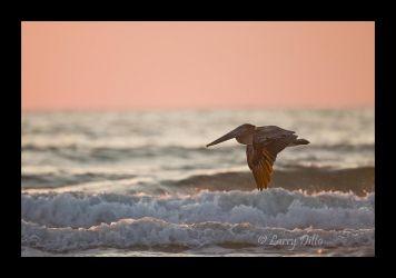 Brown Pelican_Larry_Ditto_70K6806