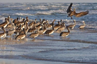 Brown Pelican on the Gulf of Mexico beach at South Padre Island, Texas, October