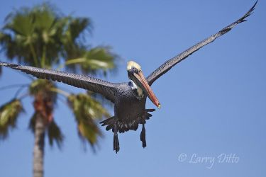 Brown Pelican_Larry_Ditto_MG_8570