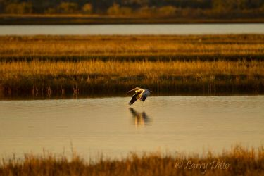 Brown Pelican_Larry_Ditto_MG_9812