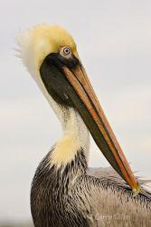 Brown Pelican_Larry_Ditto_X0Z1328