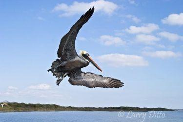Brown Pelican_Larry_Ditto_crw_5739