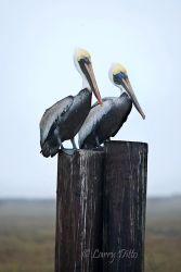 Brown Pelicans_70K3314