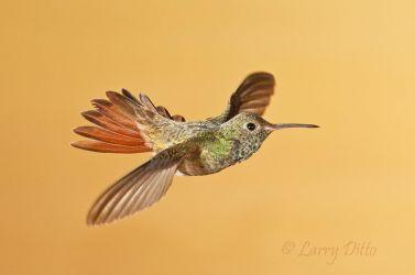 Buff-bellied_Hummingbird_Larry_Ditto_70K1159