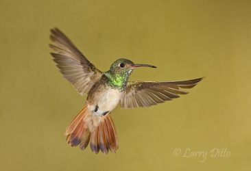 Buff-bellied_Hummingbird_Larry_Ditto_70K1319
