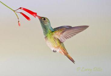 Buff-bellied_Hummingbird_Larry_Ditto_70K5614