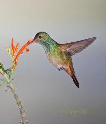 Buff-bellied_Hummingbird_Larry_Ditto_70K5626