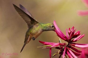 Buff-bellied_Hummingbird_Larry_Ditto_MG_2402