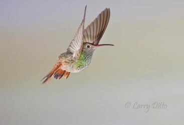 Buff-bellied Hummingbird, adult in flight