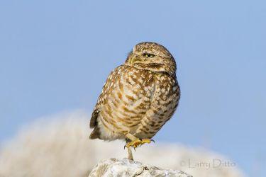 Burrowing Owl_IMG_8008