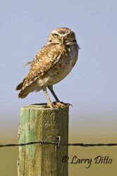 Burrowing_Owl_Larry_Ditto_X0Z1073