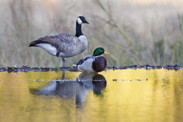 Canada goose and mallard roosting