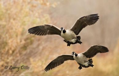 Canada_Geese_Larry_Ditto_70K2614