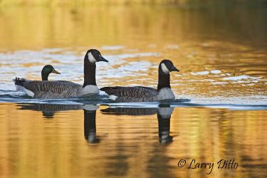 Canada_Geese_Larry_Ditto_70K7328