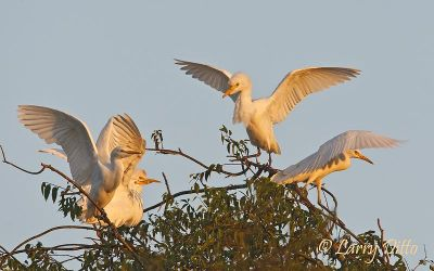 Cattle Egrets on roost