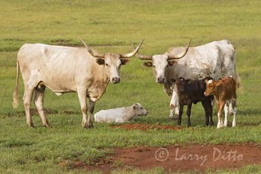 Cattlel, Texas Longhorn, calves with mothers, spring