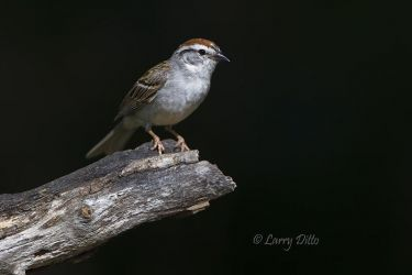 Chipping_Sparrow_51U4485