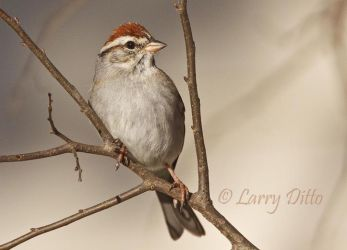 Chipping Sparrow, McClelland Ranch, Junction, Texas