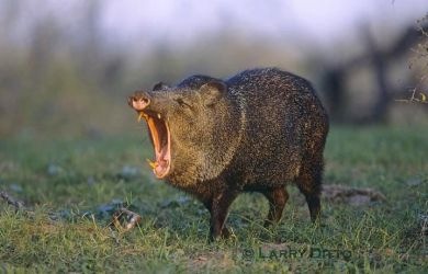 Collared_Peccary_Larry_Ditto