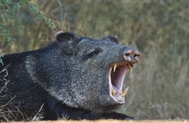 Collared_Peccary_Larry_Ditto_70K1978