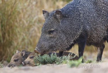 Collared_Peccary_Larry_Ditto_70K7281