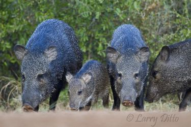 Collared_Peccary_Larry_Ditto_MG_3803