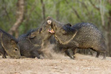 Collared Peccaries fighting, Martin Ranch