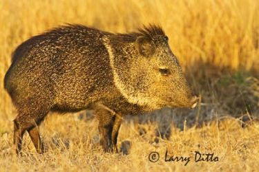 Collared_Peccary_Larry_Ditto_X0Z9994
