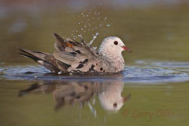 Common_Ground-Dove_70K7401