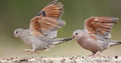 Common Ground-Doves landing, s. Texas