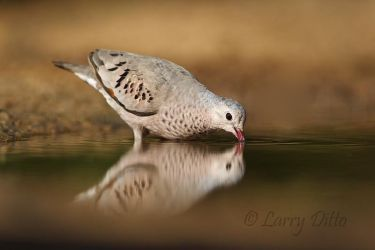 Common_Ground-Dove_Larry_Ditto_MG_2823