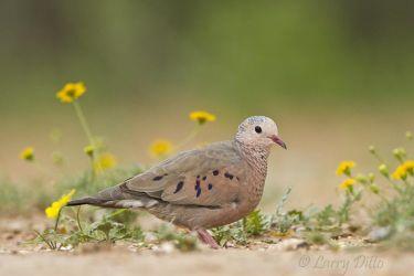 Common Ground Dove in wildflowers, s. Texas