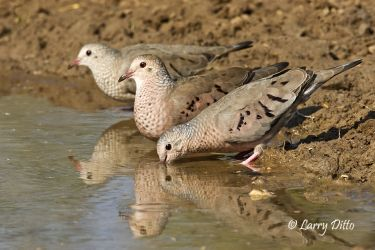Common Ground Doves drinking at s. Texas pond