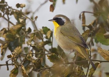 Common_Yellowthroat_Larry_Ditto_MG_8096