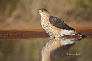 Cooper's Hawk (Accipiter cooperii) wading in ranch pond, Starr County, Texas