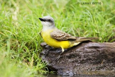 Couch's_Kingbird_larry_ditto