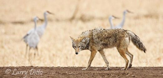 Coyote_Hunting_Larry_Ditto_70K7998