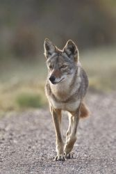 Coyote_Larry_Ditto0117