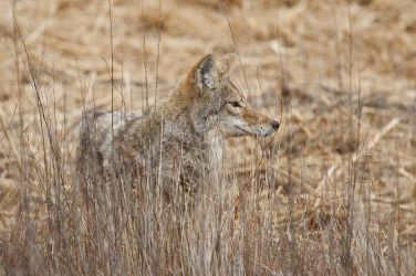 Coyote_Larry_Ditto_70K7968