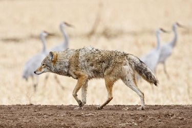 coyote and cranes