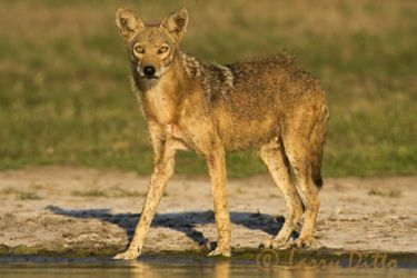 Coyote_Larry_Ditto_7856